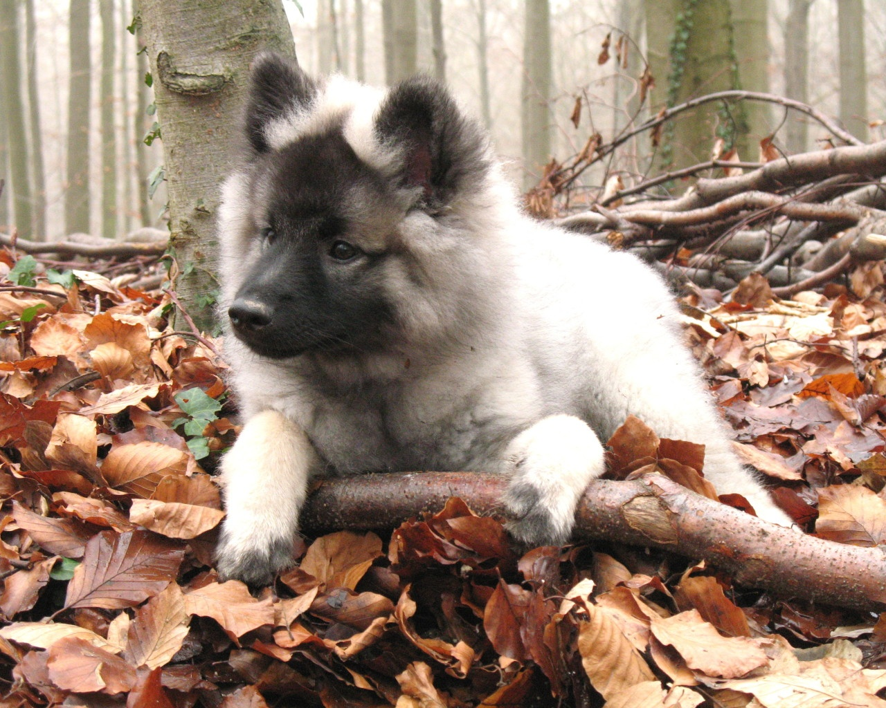 Autumn Keeshond puppy wallpaper