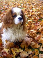 Autumn King Charles Spaniel dog