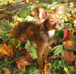 Autumn Russian Toy dog
