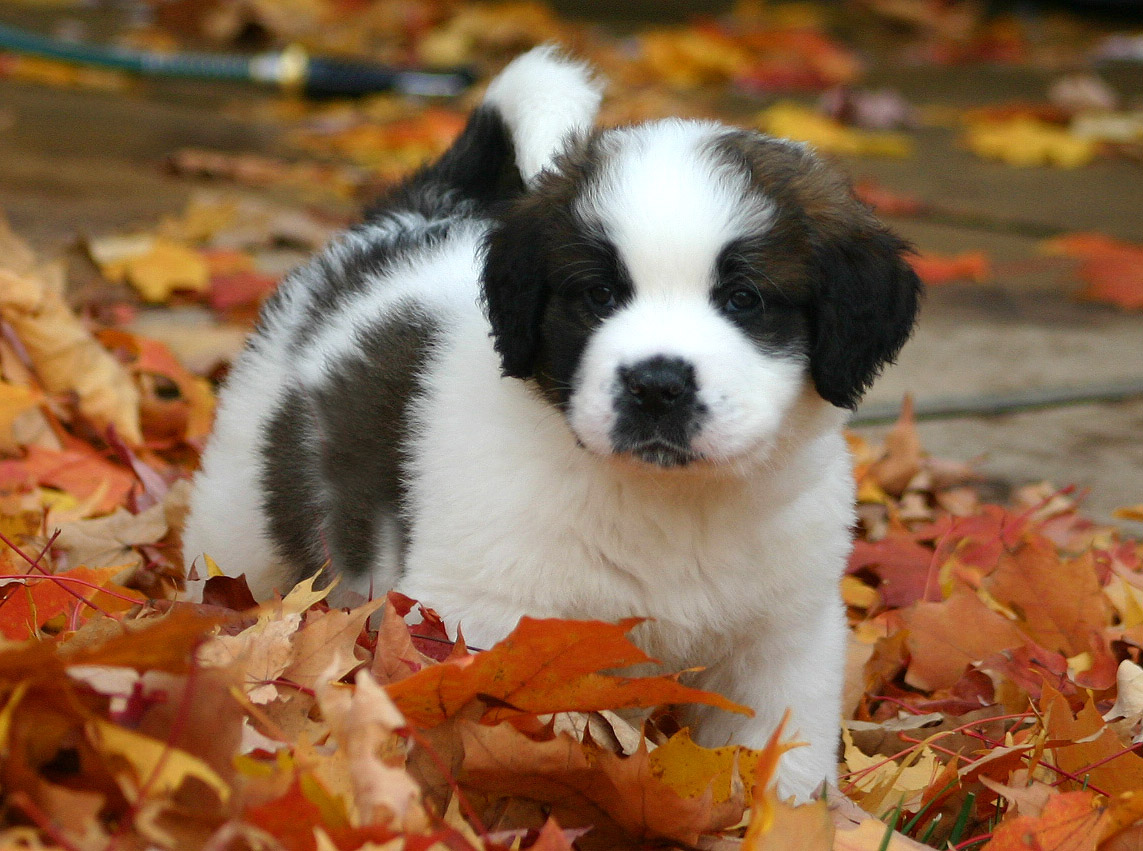Autumn St.Bernanrd puppy wallpaper