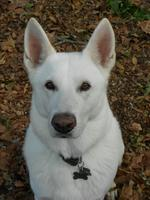 Autumn White Shepherd dog