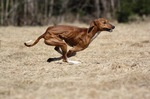 Azawak dog jumping