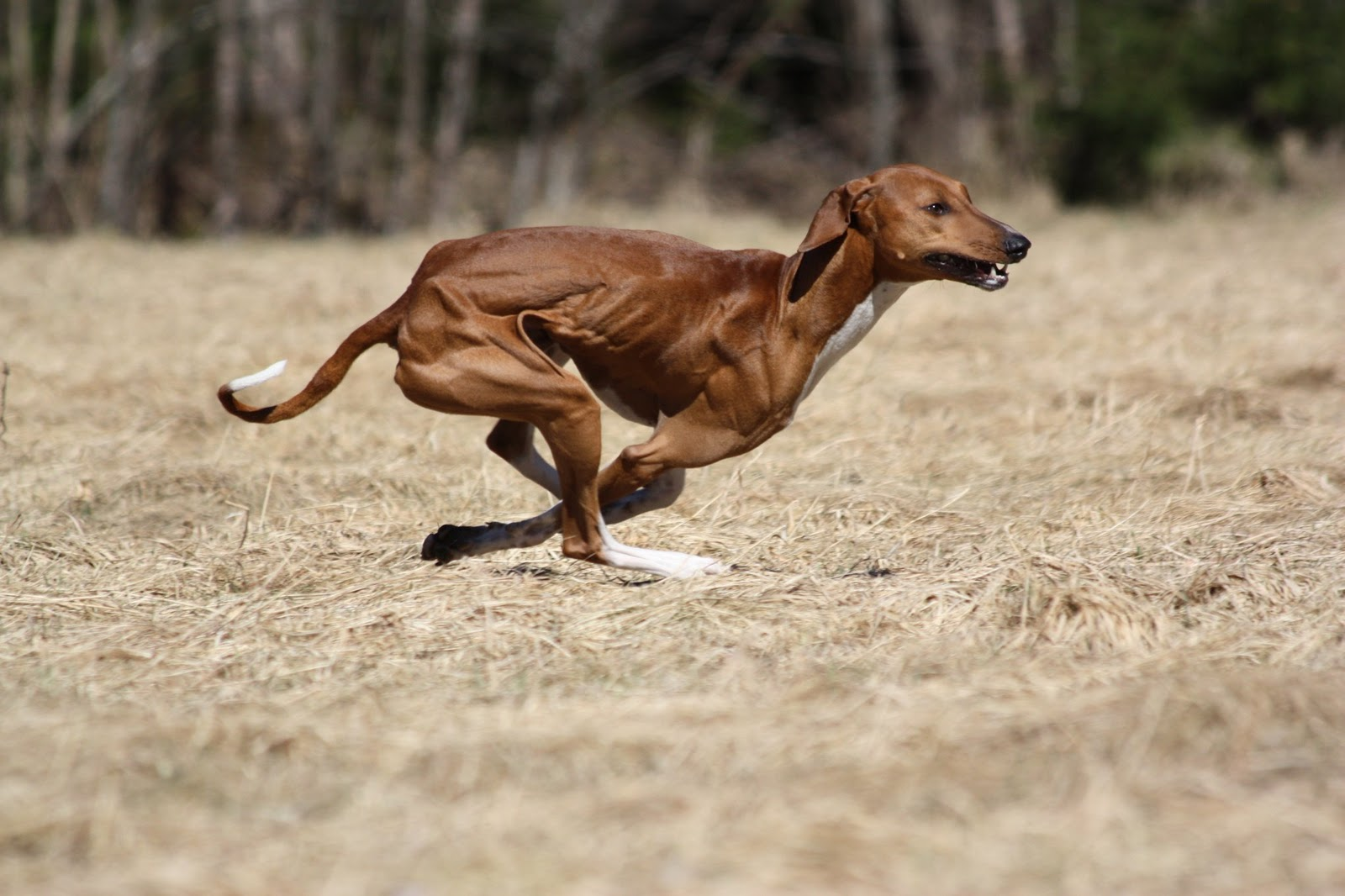 Azawak dog jumping wallpaper