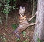 Barking Tennessee Treeing Brindle