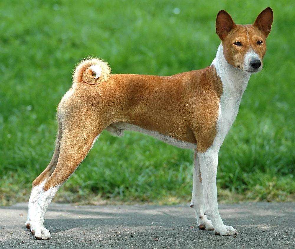 Basenji dog photo and wallpaper. Beautiful Basenji dog
