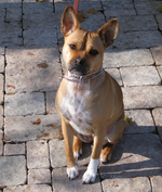 Basenji dog looking at you