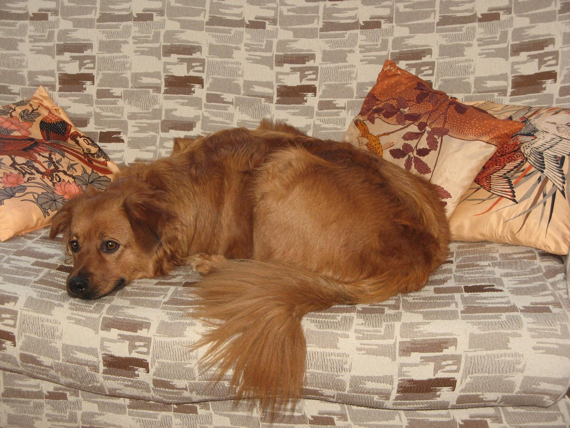 Basque Shepherd Dog on the couch wallpaper
