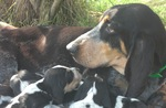 Basset Bleu de Gascogne dog and puppies