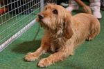 Basset Fauve de Bretagne on the dog show