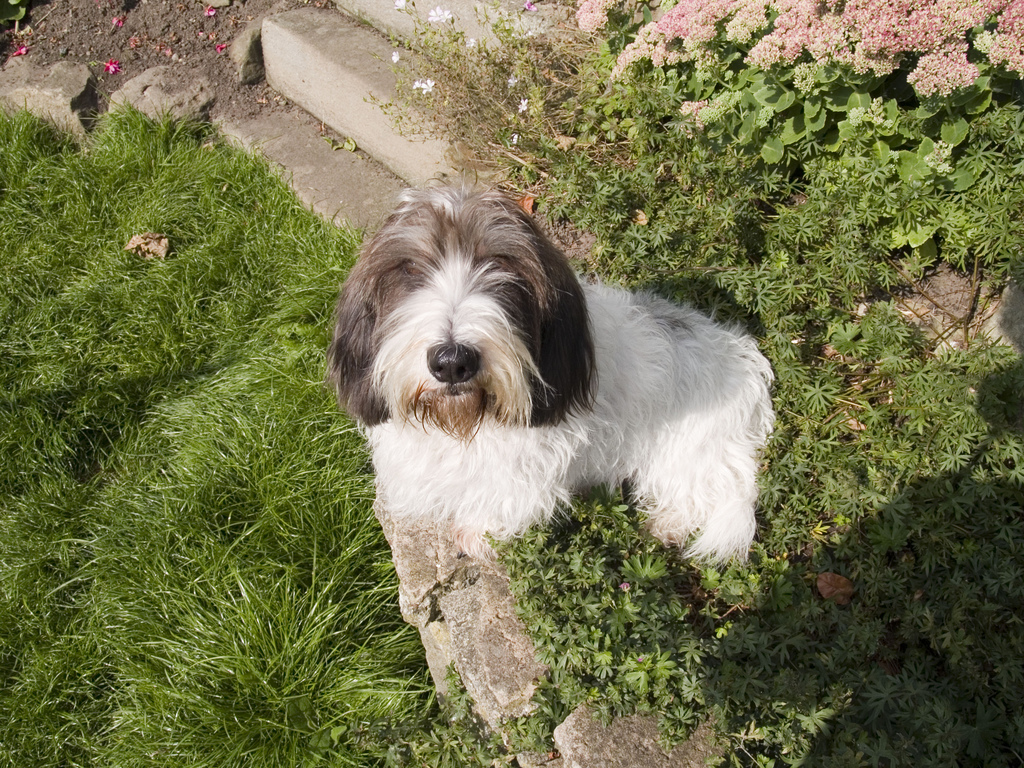 Basset Griffon Vendéen Grand in the garden wallpaper