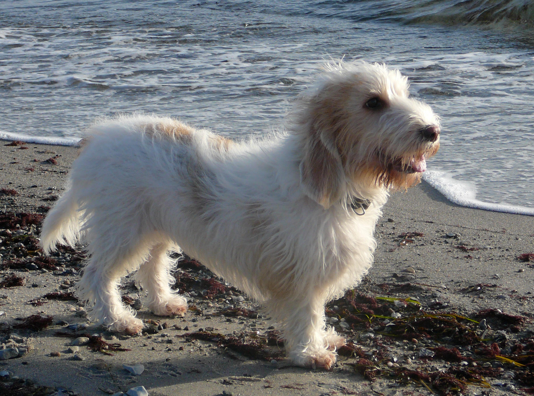 Basset Griffon Vendéen Grand on the beach wallpaper