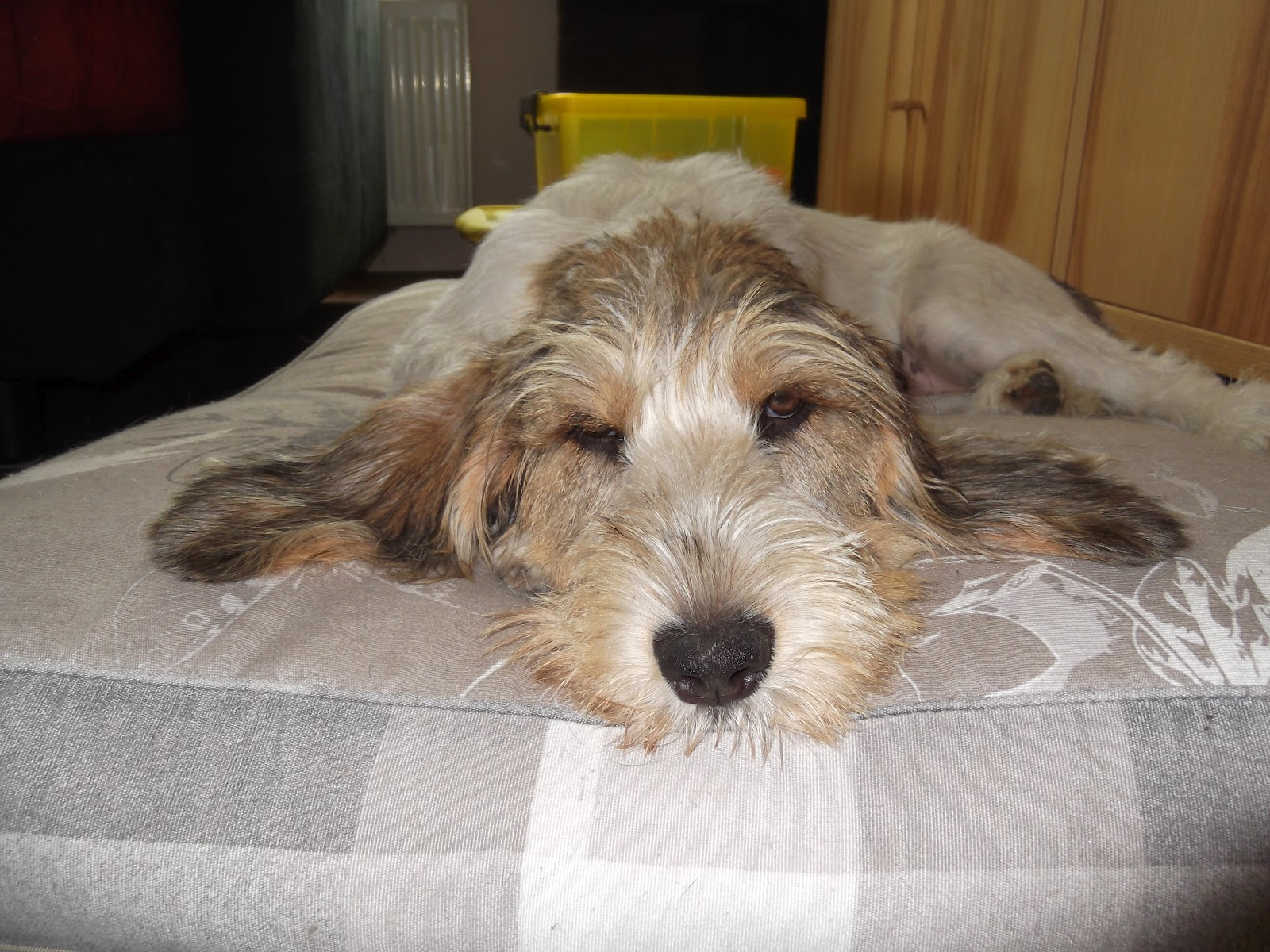 Basset Griffon Vendéen Petit on the bed wallpaper