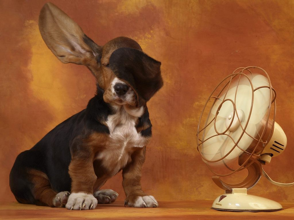 Basset Hound and the fan wallpaper