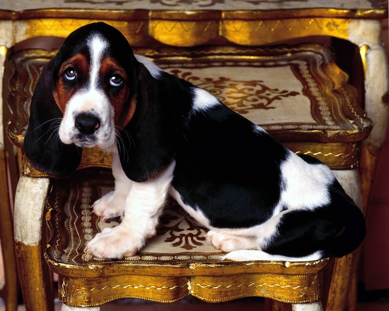 Basset Hound dog wallpaper
