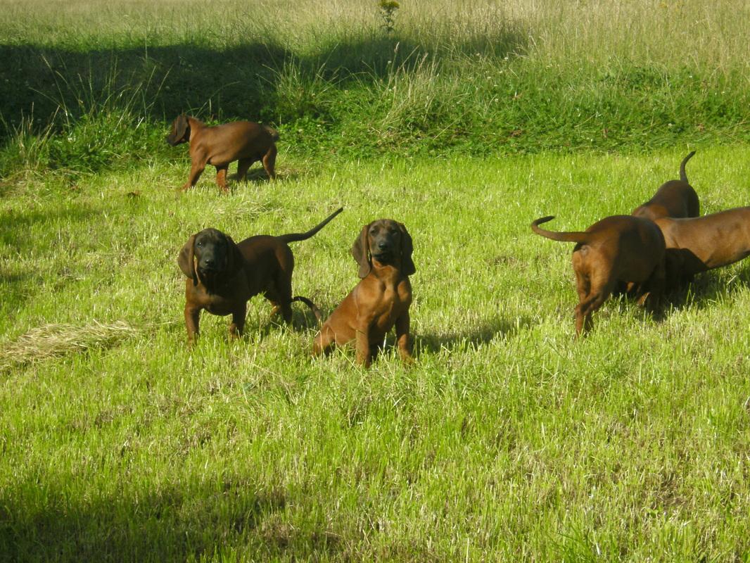 Баварская горная гончая собака фото