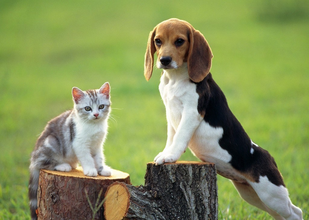 Beagle dog and cat wallpaper