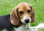 Beagle dog Jack