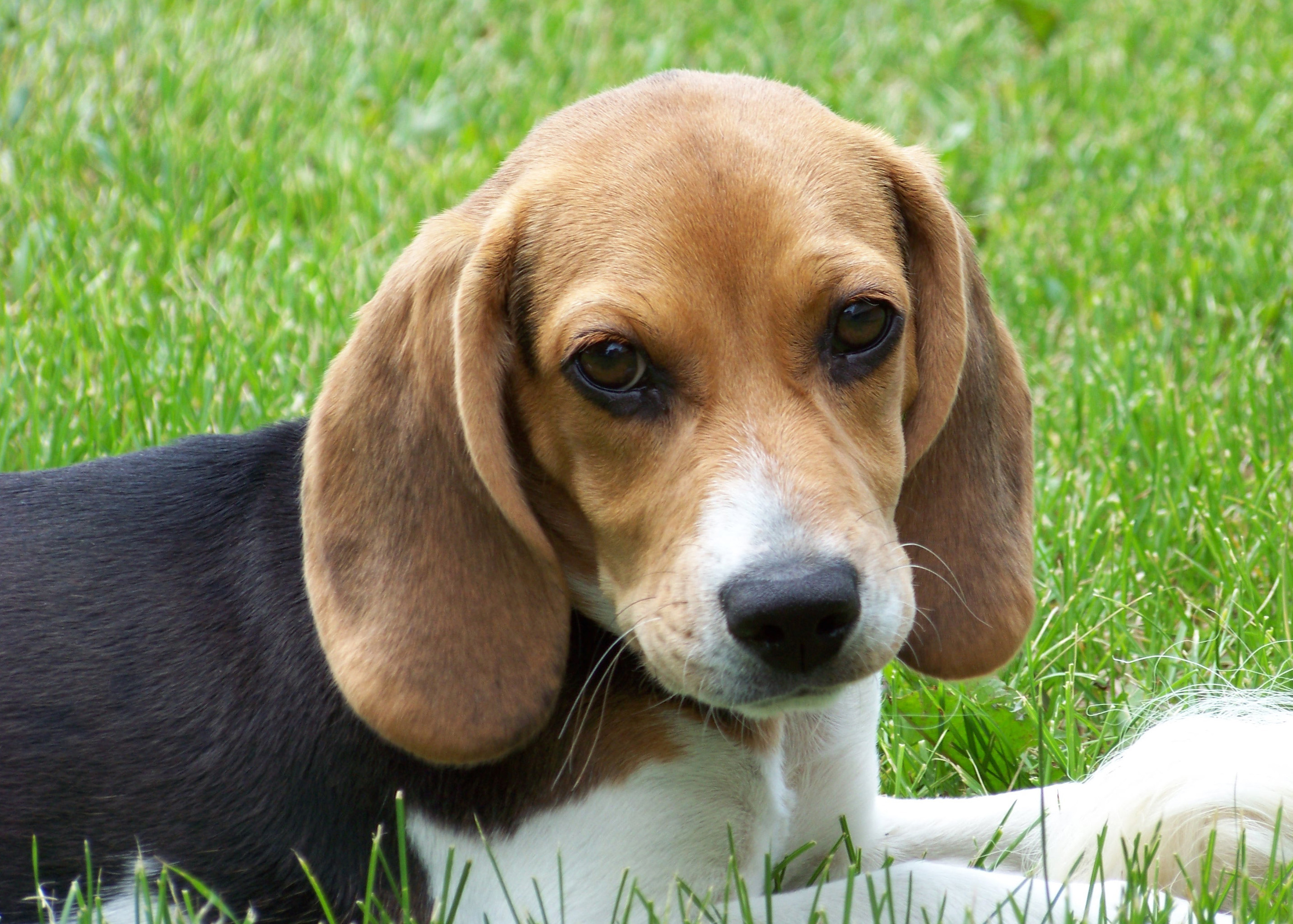 Good Tiny Beagle Adorable Dog - beagle-dog-jack-photo  Collection_85511  .jpg