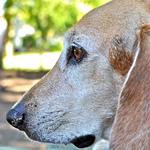 Морда собаки бигль-харьер