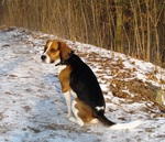 Beagle-Harrier dog
