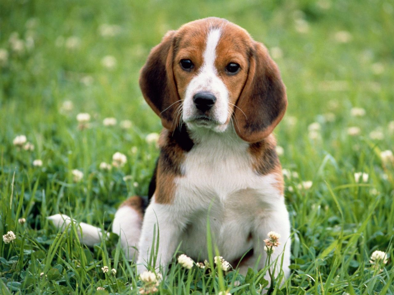 Beagle puppy in flowers wallpaper