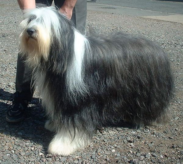 Bearded Collie wallpaper