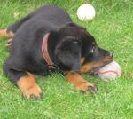 Beauceron dog with a ball