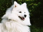 Beauteous Japanese Spitz