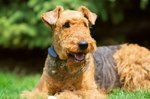 Beautiful Airedale Terrier