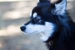 Beautiful Alaskan Klee Kai