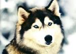 Красивый аляскинский маламут
