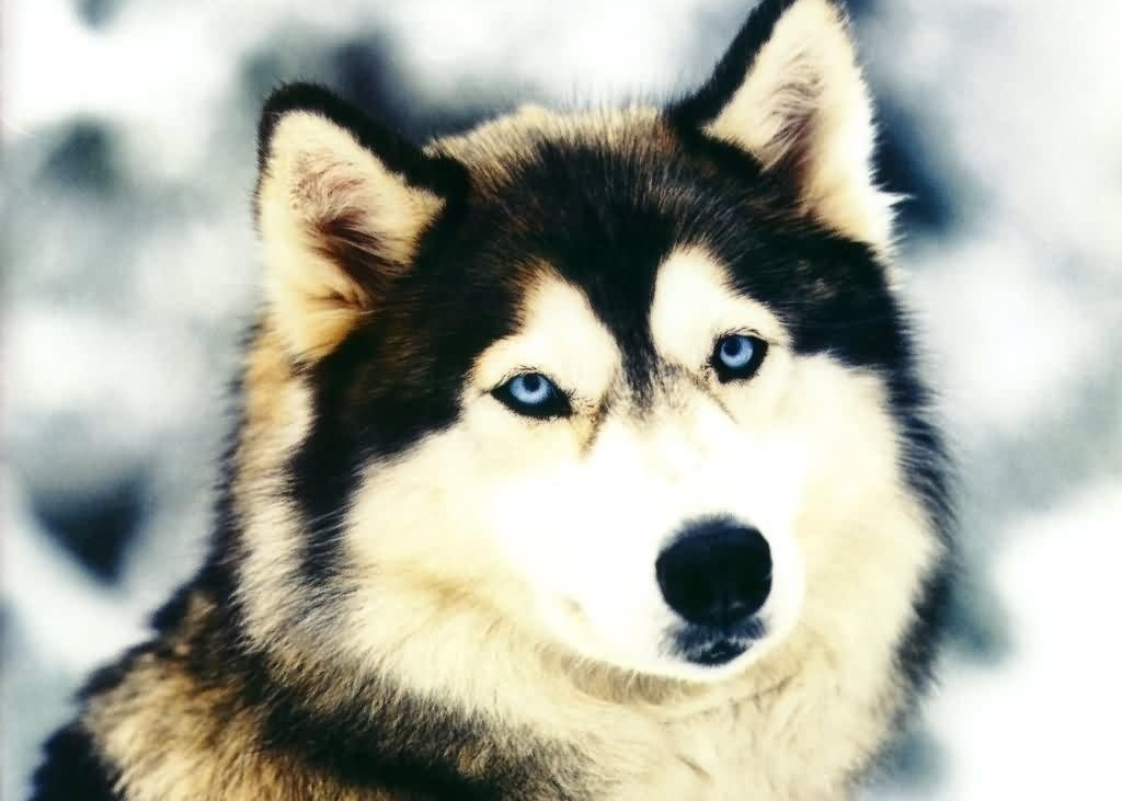 Beautiful Alaskan Malamute wallpaper