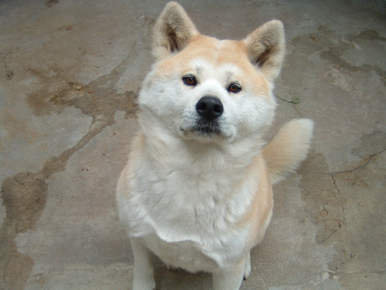 Beautiful American Akita Jack wallpaper