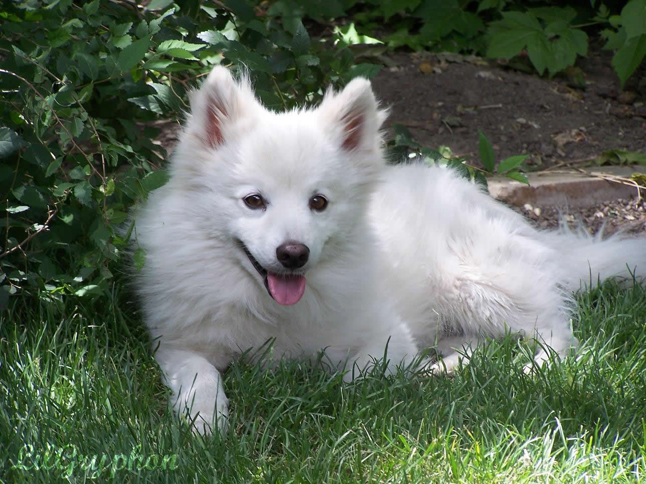 Beautiful American Eskimo Dog wallpaper
