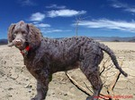 Beautiful American Water Spaniel