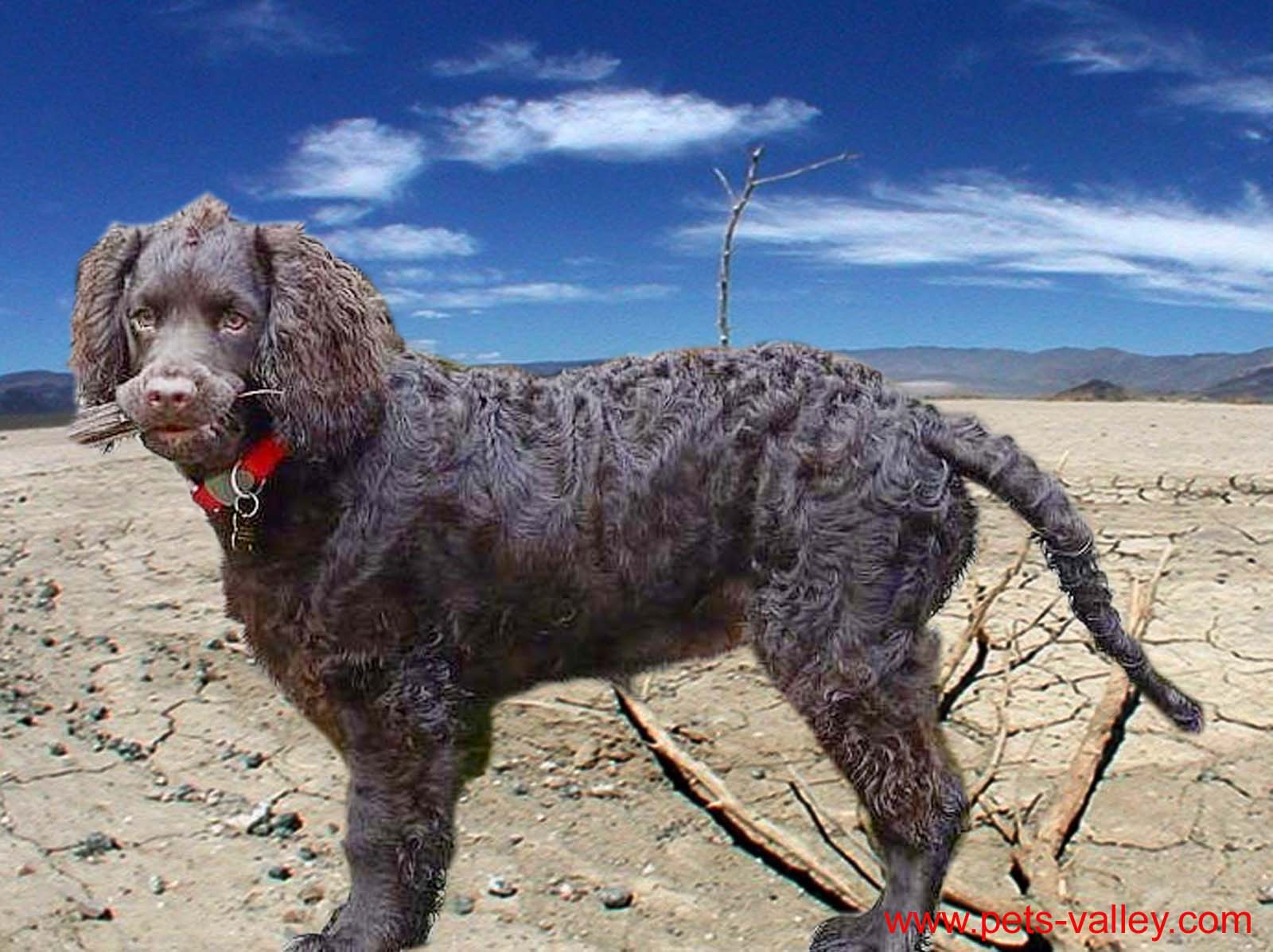 Beautiful American Water Spaniel photo and wallpaper ... American Water Spaniel Dogtime