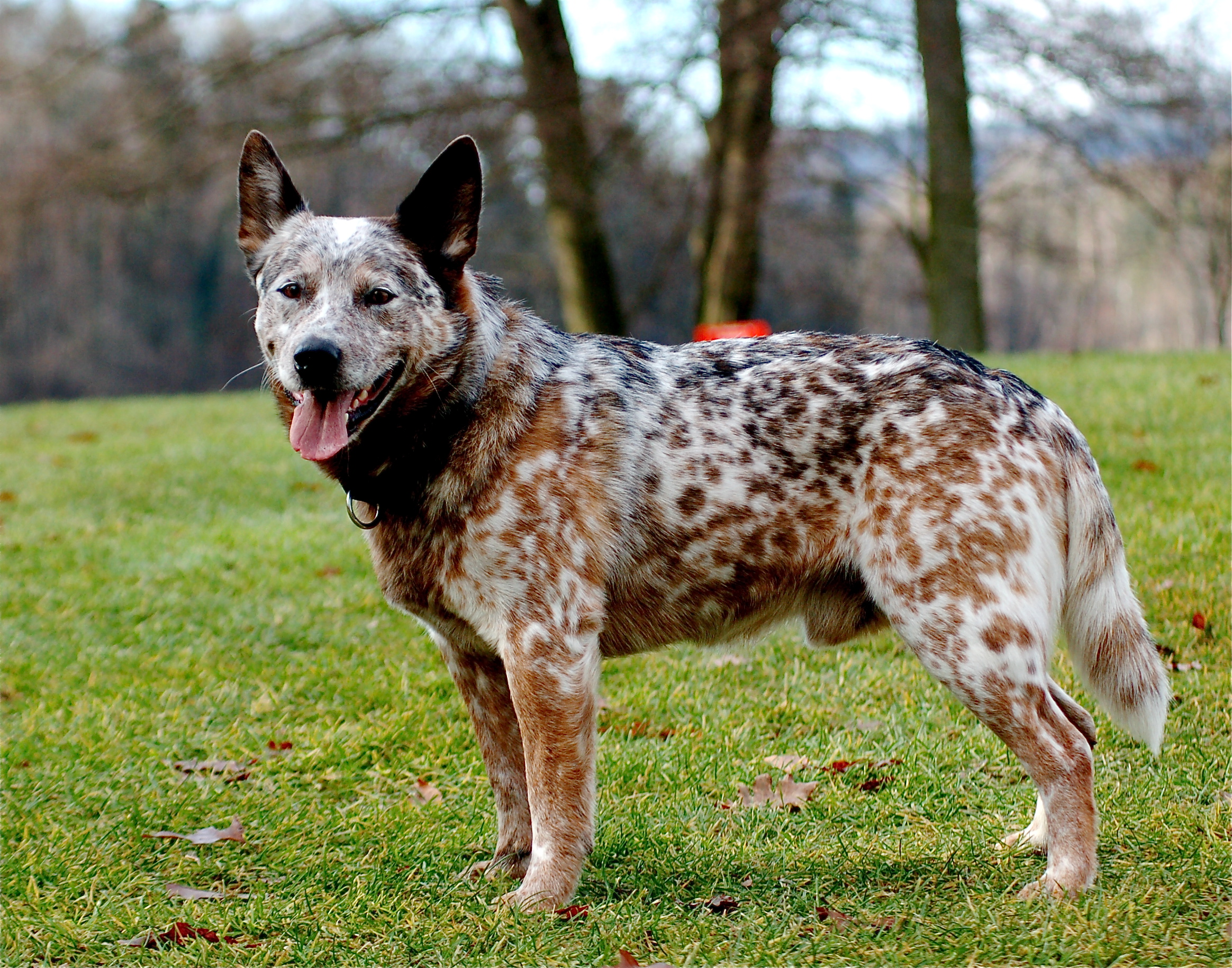 Beautiful Australian Stumpy Tail Cattle Dog wallpaper