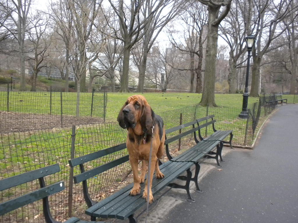 Beautiful Bloodhound on the bench dog wallpaper