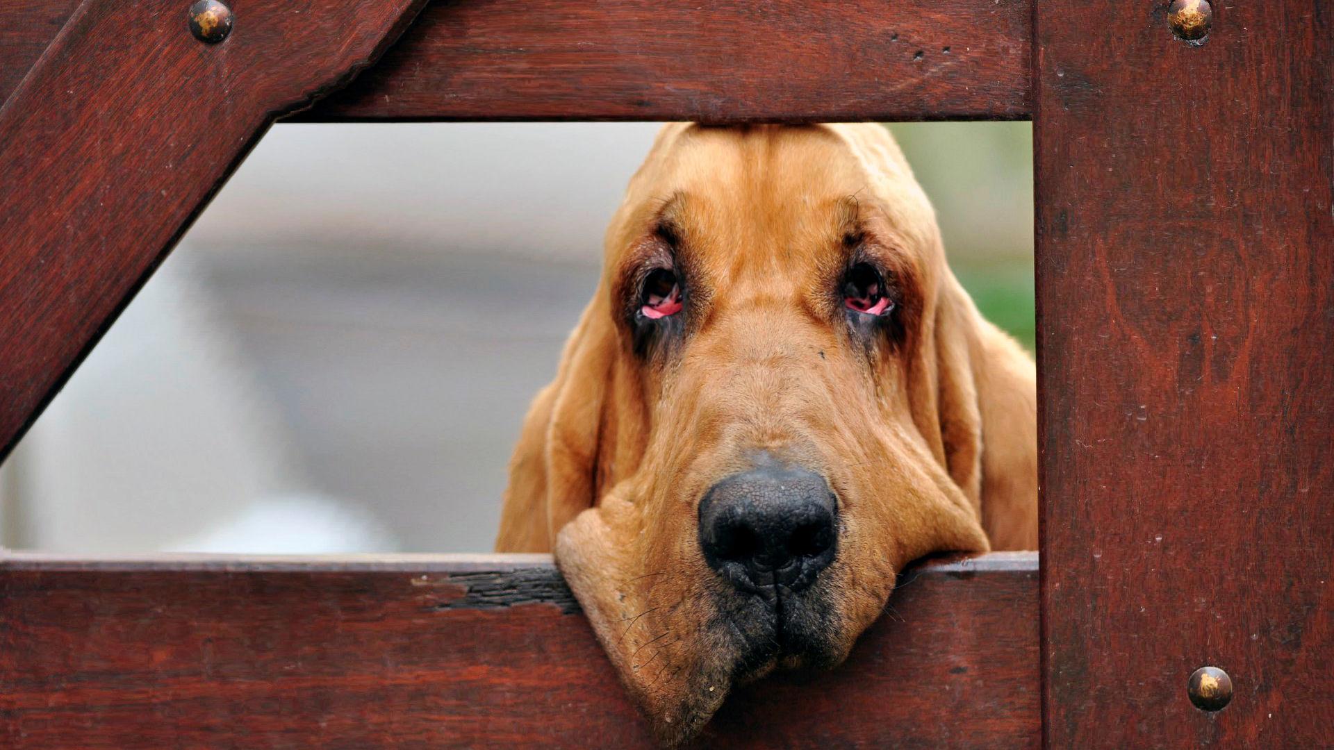 Красивая собака бладхаунд фото