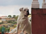 Beautiful Bulldog Campeiro