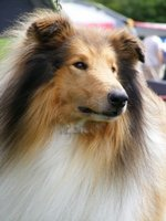Beautiful Collie Rough dog