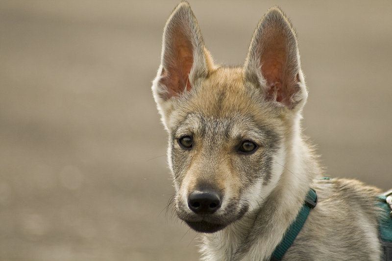 Beautiful Czechoslovak Wolfdog puppy  wallpaper