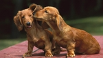 Beautiful Dachshund dogs