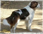 Beautiful Drentse Patrijshond dog