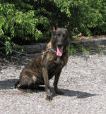 Beautiful Dutch Shepherd Dog