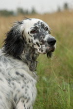 Beautiful English Setter dog
