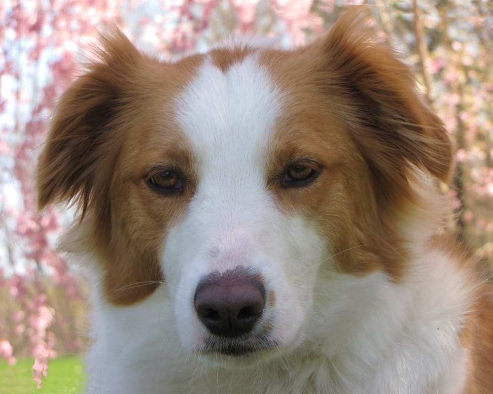 Beautiful English Shepherd dog face wallpaper