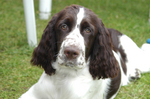 Beautiful English Springer Spaniel dog