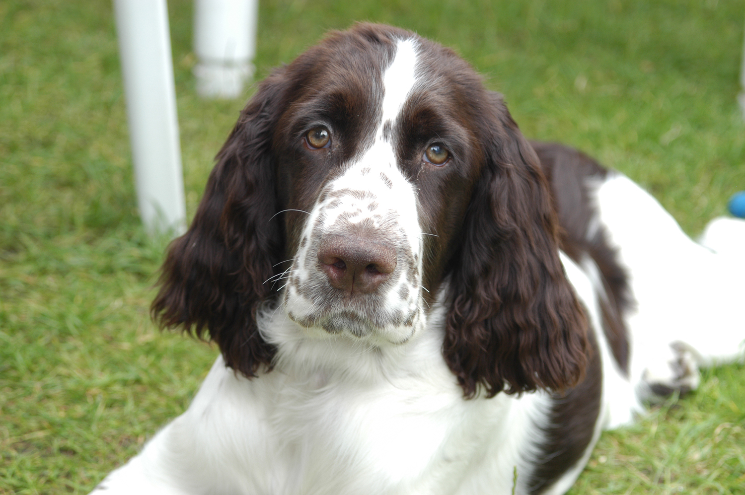 Beautiful English Springer Spaniel dog  wallpaper