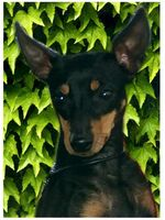 Beautiful English Toy Terrier(Black Tan) dog